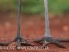 Zimanga Scavengers Hide  -  Marabou Stork (29)