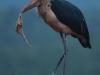 Zimanga Scavengers Hide  -  Marabou Stork (5)