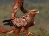 Zimanga Scavengers Hide  - Tawny Eagle (1)