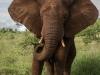 Zimanga elephant (2)