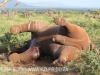 Zimanga - elephant joust ends in death (2)