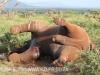 Zimanga - elephant joust ends in death (2)