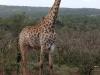 Zimanga giraffe