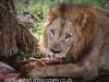 Zimanga lion kill - warthog (1)