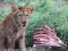 Zimanga lion kill - warthog (2)