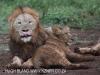 Zimanga lion kill - warthog (3)