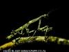 Zimanga praying mantis (3)