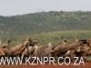 Zimanga scavengers hide vultures (3)