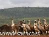 Zimanga scavengers hide vultures (4)