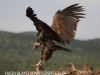 Zimanga scavengers hide vultures (5)