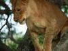 Zimanga - tree lioness (5)