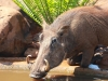 Zimanga warthog
