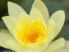 Zimanga waterlillies (1)