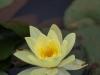 Zimanga waterlillies (2)