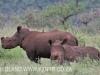 Zimanga white rhino (3)