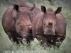 Zimanga white rhino (6)