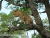 Zimangas Tree Lions  (1)