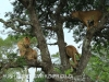 Zimangas Tree Lions  (11)