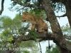 Zimangas Tree Lions  (12)