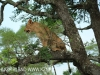 Zimangas Tree Lions  (13)