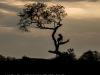 Zimangas Tree Lions  (2)
