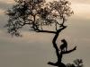 Zimangas Tree Lions  (3)