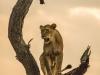 Zimangas Tree Lions  (4)