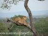 Zimangas Tree Lions  (5)