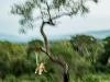Zimangas Tree Lions  (9)
