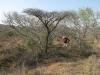 koningskroon-dorstfontein-farm-ft-victoria-1879-s-28-25-53-e-31-18-57-elev-73-18